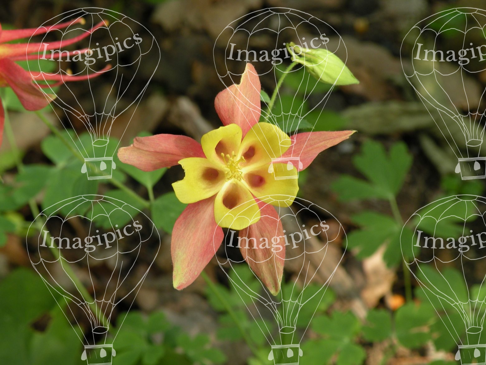 Columbine flower face columbine flower face izmirmasajfo